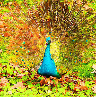 Photograph - Peacock Junior Displaying by Margaret Saheed