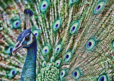 Photograph - Peacock by Karen Walzer