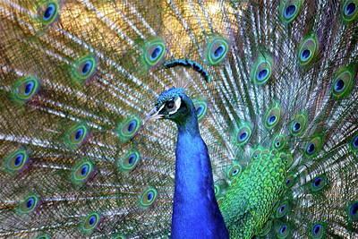 Peacock Poster Photograph - Peacock by Lisa Billingsley
