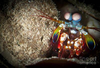 Peacock Mantis Shrimp Peering Art Print by Steve Jones