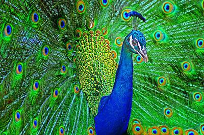 Peacock Art Print by Nikolyn McDonald