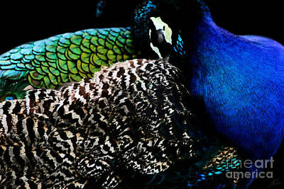 Photograph - Peacock On Black by Nola Lee Kelsey