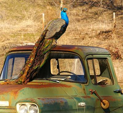 Peacock On Old Gmc Truck 3 Art Print by Loni Collins