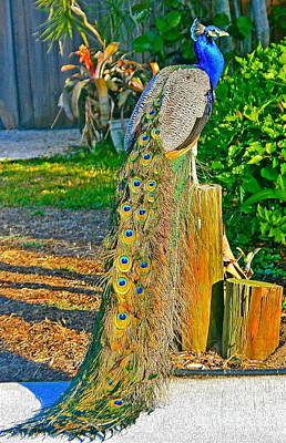 Art Print featuring the photograph Peacock On The Stump by Joan McArthur