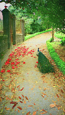 Peacock Path A Art Print by Dulce Levitz