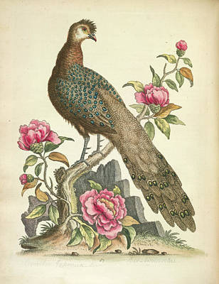 Pheasant Photograph - Peacock Pheasant by British Library