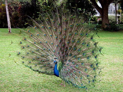 Photograph - Peacock by Phillip Garcia