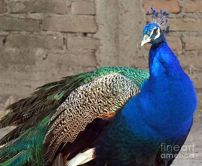 Photograph - Peacock Pose  by Rachel Munoz Striggow