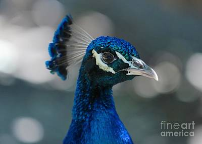 Photograph - Peacock Profile by Carol Groenen