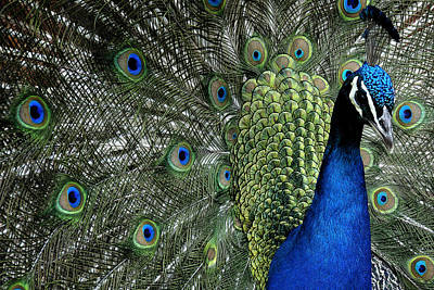 Photograph - Peacock by Ron White