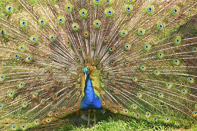 Photograph - Peacock by Scott Hansen