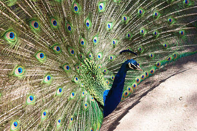 Photograph - Peacock Show by Ernie Echols