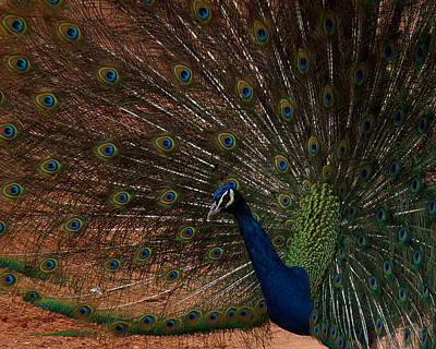 Photograph - Peacock Show Off by Ernie Echols