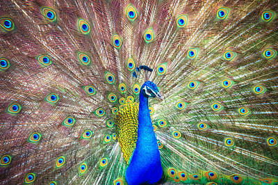Photograph - Peacock by Shuwen Wu