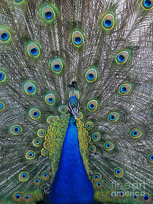 Photograph - Peacock by Steven Ralser