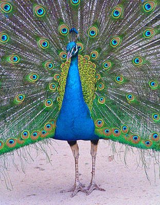 Photograph - Peacock Strolling by Margaret Saheed