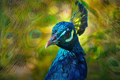 Photograph - Peacock Study by Patricia Dennis