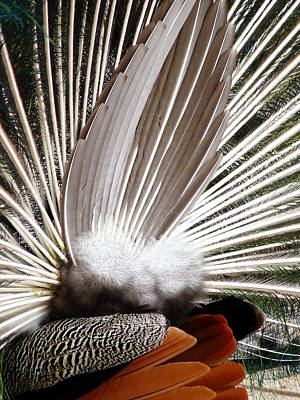 Photograph - Peacock Tail by Jeff Lowe