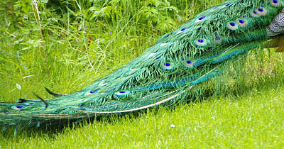 Photograph - Peacock Tail by Marilyn Wilson
