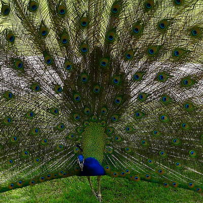 Photograph - Peacock With Spread Feathers by Denise Mazzocco