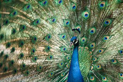Photograph - Peacocking by Nastasia Cook