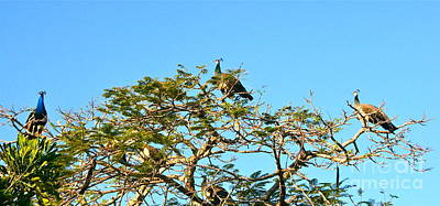 Photograph - Peacocks In A High Tree by Joan McArthur