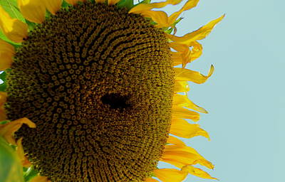 Photograph - Peak A Boo Sunflower by Gregory Merlin Brown