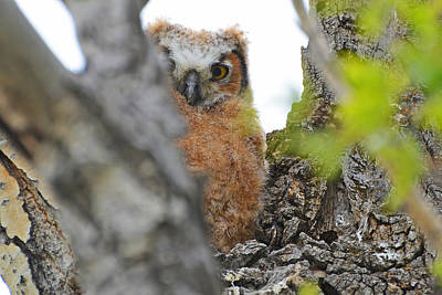 Photograph - Owlet Peak-a-boo by Eric Nielsen