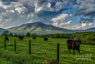Photograph - Peaks Of Otter Cows by Mark East