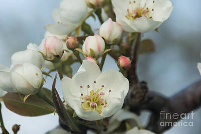 Photograph - Pear Blossom 1 by Julie Clements