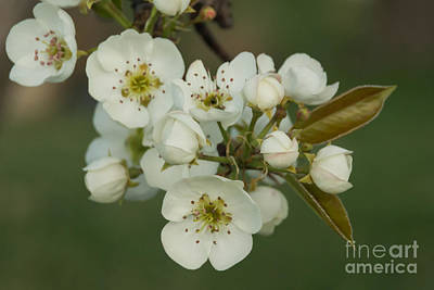 Photograph - Pear Blossom 3 by Julie Clements