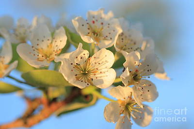 Art Print featuring the photograph Pear Blossom 3 by Rebeka Dove