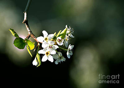 Photograph - Pear Blossom Digital by Linda Cox
