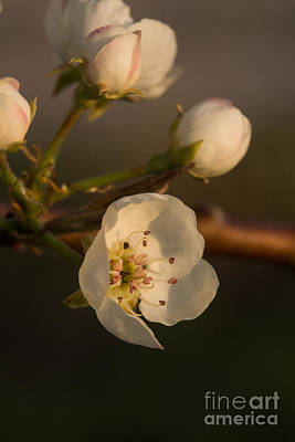 Photograph - Pear Blossom by Julie Clements