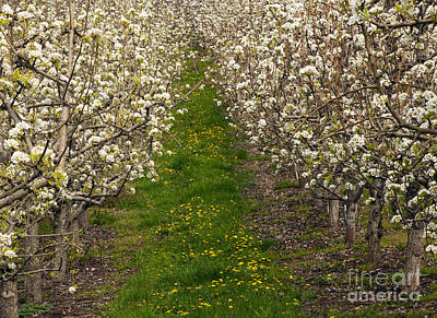 Pear Blossom Lane Art Print by Mike  Dawson