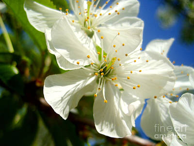 Photograph - Pear Blossom by Nina Ficur Feenan