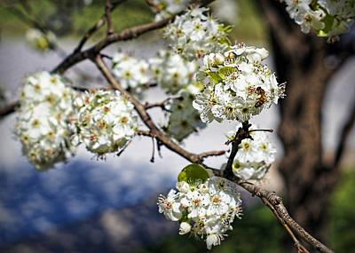 Pear Tree Photograph - Pear Blossom Pollinator by Cricket Hackmann