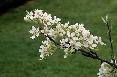 Pear Blossoms Wall Art - Photograph - Pear Blossom (pyrus 'black Worcester') by Tony Wood/science Photo Library