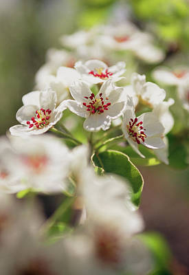 Pear Blossoms Wall Art - Photograph - Pear Blossom (pyrus Sp.) by Rachel Warne/brogdale Horticultural Trust/ Science Photo Library