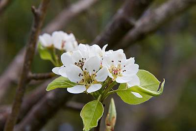 Photograph - Pear Blossoms     by Tom Culver