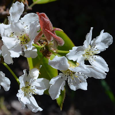 Photograph - Pear Blossoms 1.1 by Cheryl Miller