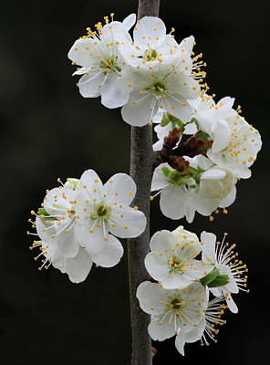 Pear Blossoms Wall Art - Photograph - Pear Blossoms by Angie Vogel