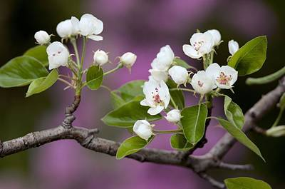 Photograph - Pear Blossoms by Douglas Pike