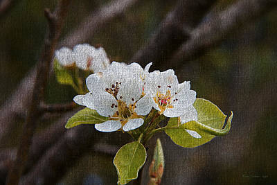 Photograph - Pear Blossoms On Canvas by Tom Culver
