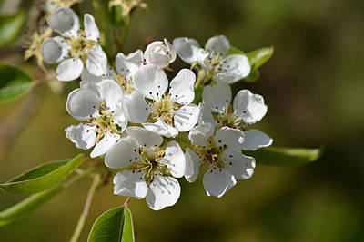 Photograph - Pear Blossoms by Ronda Broatch