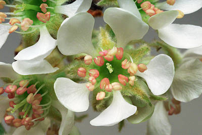 Pear Blossoms Wall Art - Photograph - Pear Flower (pyrus Communis) by Bjorn Rorslett/science Photo Library