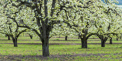 Pear Tree Photograph - Pear Orchard In Bloom, Mt Hood, Oregon by Panoramic Images