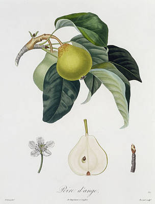 Pear Art Print by Pierre Antoine Poiteau