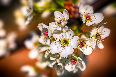 Photograph - Pear Tree Blossoms by Sennie Pierson