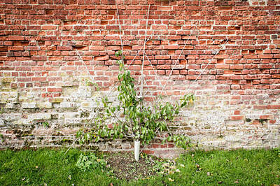 Home Grown Photograph - Pear Tree by Tom Gowanlock